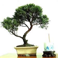60 pcs sale perennial tree seeds japanese pinus bonsai tree