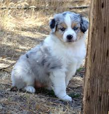 australian shepherd puppies for sale southern california dog breeders in california