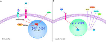 frontiers the role of mucosal immunity in the pathogenesis of