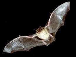 mammiferi volanti les 64 meilleures images du tableau mammiferi volanti sur