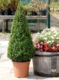 Topiary Frames Online Topiary Trees And Plants Online Top Topiary