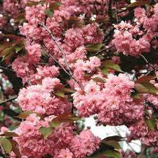 blossom trees cherry blossom trees uk buy a white or pink blossom tree wyevale