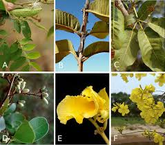 brazil native plants diversity and distribution of extra floral nectaries in the
