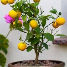 630 best bonsai frutti images on bonsai bonsai