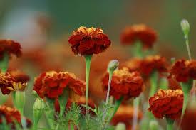 growing marigolds for flowers in your garden