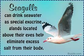 interesting facts about seagulls you probably didn t