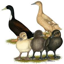 where to buy duck where to buy golden 300 hybrid layer ducks coops pet chickens