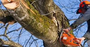 tree service dallas affordable tree care service tree trimming