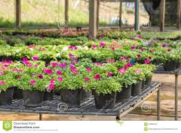 flowers in pots on sale in plants nursery stock image image