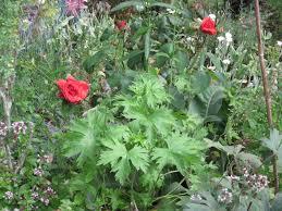 fragrant cloud rose audrey driscoll u0027s blog