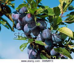 plums plums several stanley plum places fruit branch outside plum