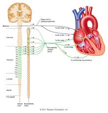Anatomy Of The Heart And Its Functions Chapter 13