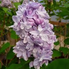 syringa vulgaris katherine havemayer buy purple lilac trees