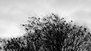 scary crows ravens silhouettes on horror trees stock footage