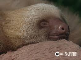 sleepy sloth gif by thirteenwnet find on giphy