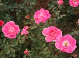 roses china 40 best images on html and plants