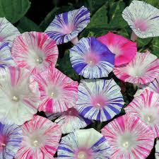 Morning Glory Climbing Plant - aliexpress com buy morning glory flower seed garden seed funny