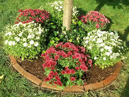 Flowers Gardens And Landscapes by Chrysanthemum Care U2013 Tips For Growing Mums In The Garden