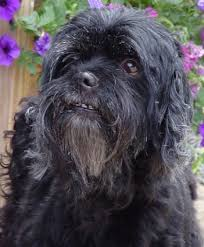 affenpinscher rescue seattle papi poo dogs for adoption in usa