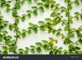 climbing fig creeping fig creeping rubber stock photo 153456743