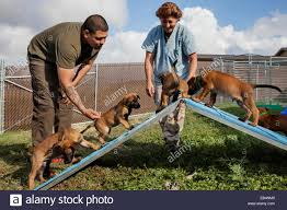 belgian malinois size at 6 months malinois puppies stock photos u0026 malinois puppies stock images alamy