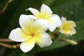 plumeria flower are plumerias edible home guides sf gate