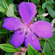 amazon com ecuador princess tibouchina bush live tropical plant
