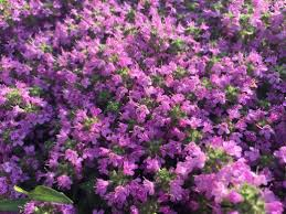 types of purple creeping thyme ground cover types care and propagation dengarden