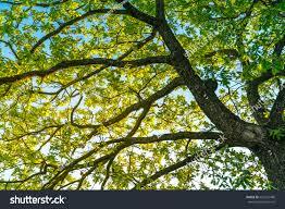 fresh green tree leaves branches bottom stock photo 622421489
