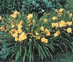 day lilies select and grow daylilies