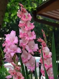gladiolus flower gladiolus flowers