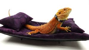 Purple Chaise Lounge Carolina Designer Dragons Chaise Lounge For Bearded Dragons Dark