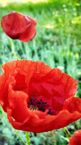 92 best a poppy images on pinterest poppy flowers beautiful