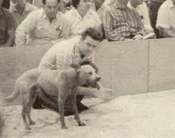 american pitbull terrier game bred bloodlines history of eli pit bull bloodline good pit bulls