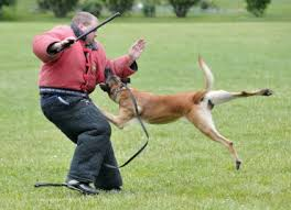 belgian shepherd how to train just another reason not to use compulsion in dog training
