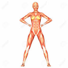 Human Female Anatomy Illustration Of The Anatomy Of The Female Human Body Isolated