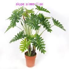 q090401 ornamental indoor plants philodendron selloum bonsai