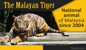 incredibly interesting facts about the malayan tiger