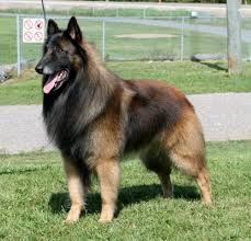 belgian sheepdog herding a belgian tervuren is considered a dog that is part of the herding