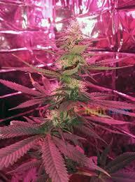 led marijuana grow lights led strip light led grow lights make growing marijuana easy