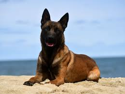 belgian shepherd for sale in india available dogs protection dogs