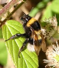 garden bumblebee naturespot