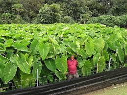 hawaii plants hawai i state plant kalo taro