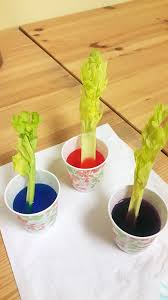 celery and food colouring science experiment learn with miaomiao