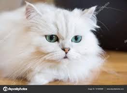 gatti persiani bianchi gatti persiani bianchi â foto stock â rukawajung 131200588