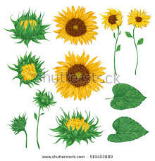 sunflowers stock images royalty free images u0026 vectors shutterstock