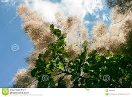 white fluffy flowers on the tree stock photo image 65618631