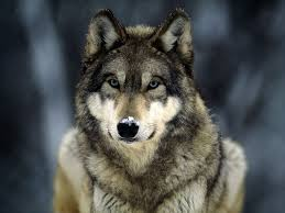 wolf the meaning of the in which you see wolf