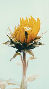 foto wallpaper bunga matahari free images flower petal yellow flora floristry flowering