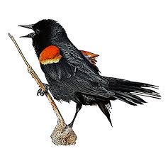 red wing black friday red winged blackbird national bird project canadian geographic